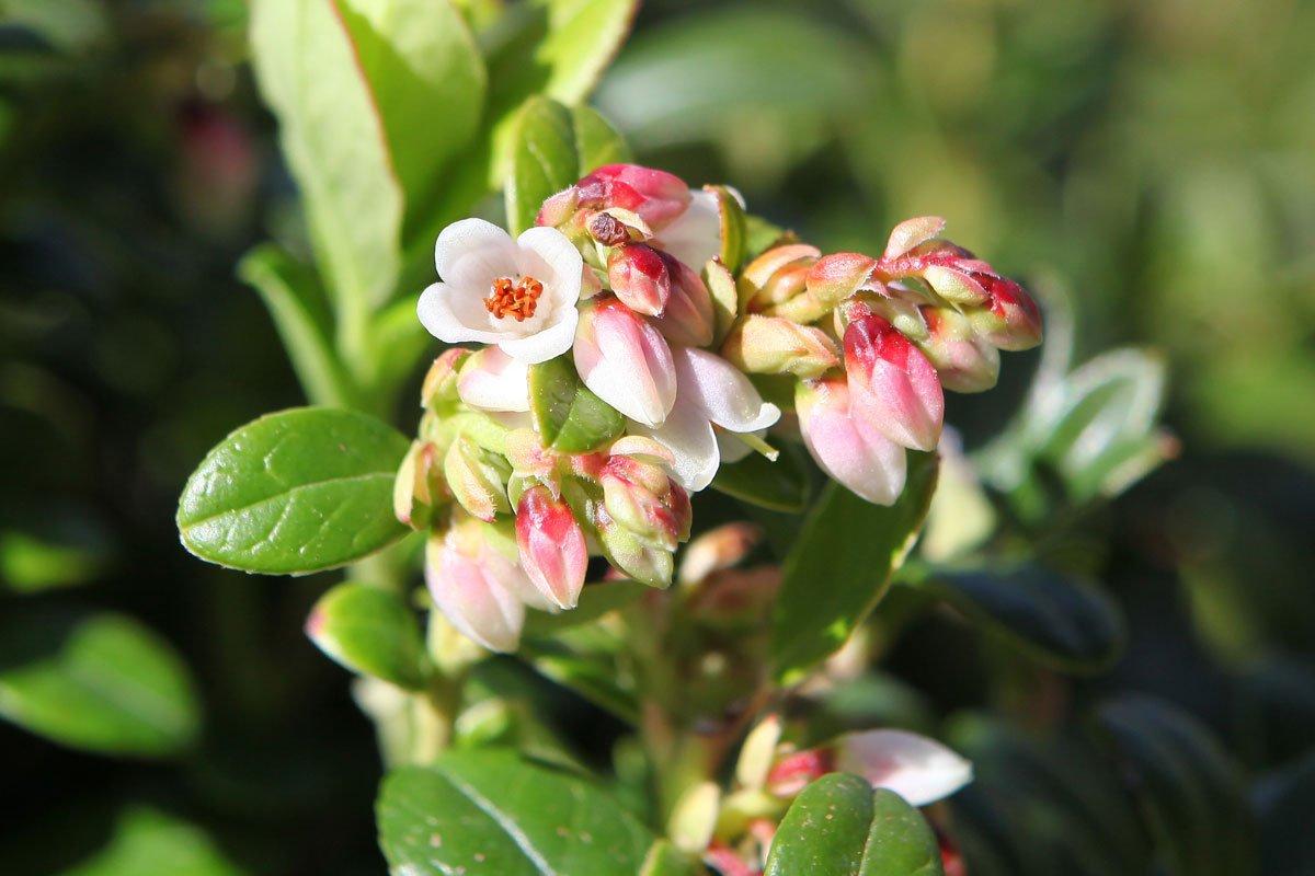 2021-05-27 - Fleurs d'Erntekrone